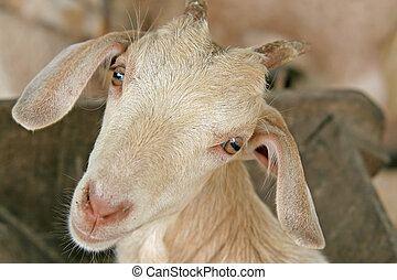 Young Goat - Close up of the head of a young billy goat