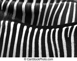 zebra skin - Details from a zebra with black and white...