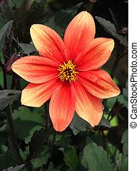 Orange DahliFlower 2 - Orange Dahlia Flower