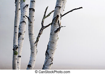 Birch Trees in the fog - A group of Birch trees against a...