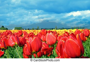 Red Tulips - A field of red and yellow tulips.