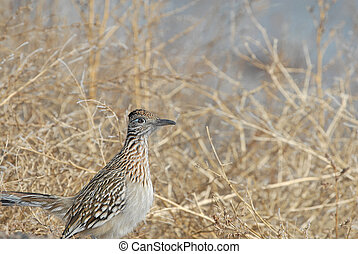 Roadrunner - A roadrunner bird from southern New Mexico