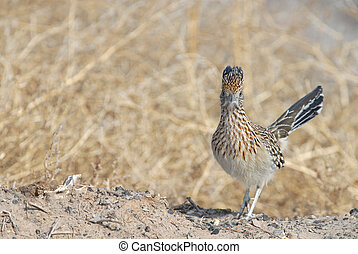 Geococcyx californianus - A roadrunner stares down at the...