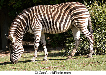 zebra eating grass - black and white striped zebra eating...