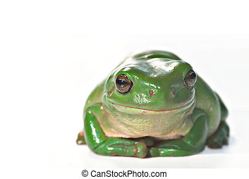 caerula sitting - litoria caerula, green tree frog isolated...