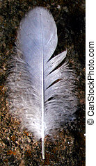 feather - a duck feather
