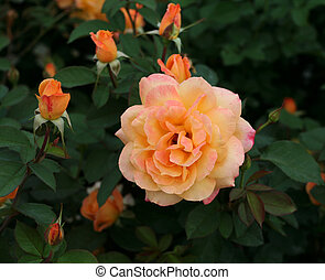 Peach rose with little buds.