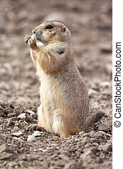 Prairie dog eating - the small prairie dog lives in the...