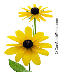 Black-eyed Susans - Two black-eyed susans isolated on white