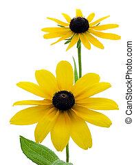 Black-eyed Susans - Two black-eyed susans isolated on white