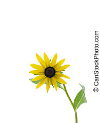 Black-eyed Susan - Black-eyed susan isolated on a white...