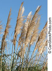 Dune Grass - Close up of foliage and fluffy heads of dune...