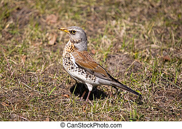 Fieldfare in a sunny day on a lawn