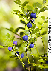 Bush of a bilberry in a wood in a sunny day