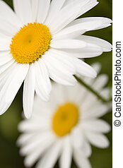 Two Shasta Daisies - Two Shasta daisies on a green...