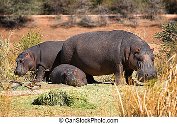 Hippo family - the shot was taken in Namibia.