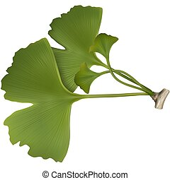 Ginko Biloba - Highly detailed and coloured illustration.