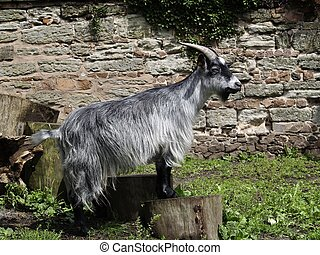 Billy Goat - A Grey Mountain Goat, Raising himself up on a...