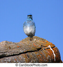 Mountain Bluebird Sialia currucoides - Mountain Bluebird on...