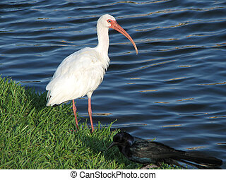 Florida White Ibis Lake - Florida White Ibis standing in a...
