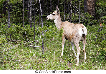 Doe in the forest - White-tailed deer in the forest,...