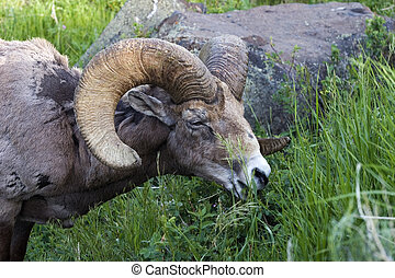 carnero, Sheep