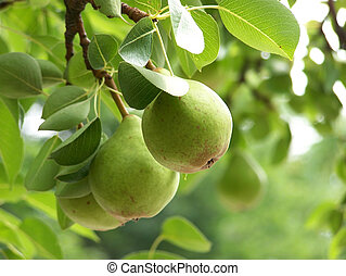 Three Pears on a Branch - Pears growing on tree, sharp...