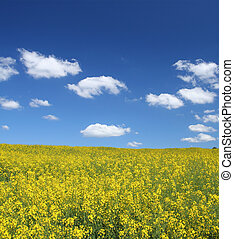 canola field with cumulus clouds - bright yellow canola...
