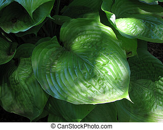 Hosta leaf Shadows - My photo of a very large-leafed Hosta