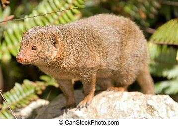 dwarf mongoose - a nice small dwarf mongoose stands on a...