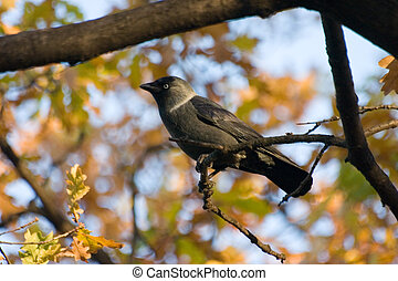 Jackdaw on a background of autumn in park in St-Petersburg