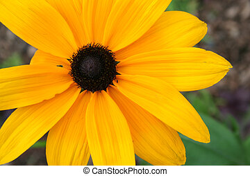black eyed susan - an image of a black eyed susan
