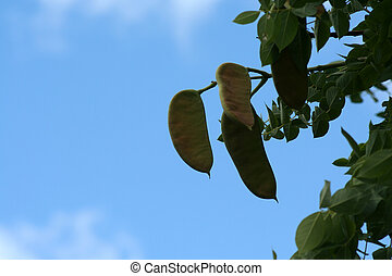 Kentucky Coffee Tree Seed Pods