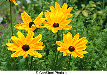 black eyed susan flowers - an image of a black eyed susan