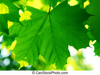 Green leaves background - Background of green maple leaves...