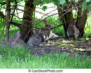 Wild Rabbit Family - portrait of wild rabbit family at their...