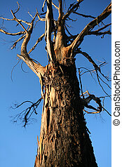 Old gnarled tree - Old australian tree with gnarly branches...