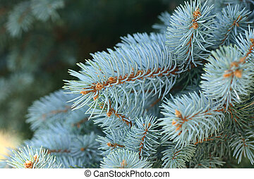 Picea, Pungens, -, blauwe, spruce
