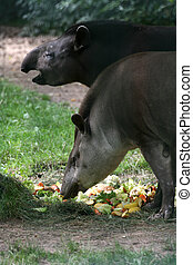 Brazilian tapir - Adult apirus terrestris in a German zoo