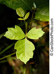 Poison Oak - Detail of Western North American Poison Oak...