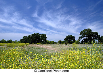 Wild Mustard Under White Clouds