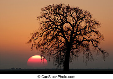 Winter Oak Tree and Setting Sun - Golden Silhouette of Bare...