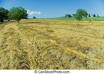 Harvest Fields With Straw in tuscany - golden hayfield in a...