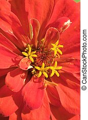 Flowers within flower - The Red Zinnia