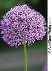 Purple explosion - Purple sensation allium
