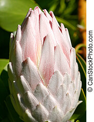 Giant Pale Pink Protea Cynaroides closeup - The pale pink...