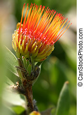 Pincushion Protea - Leucospermum - Distinctive shaped flower...