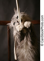 Playing cat - The grey thoroughbred cat plays studios