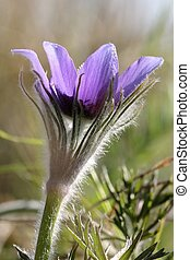 pulsatilla - Pulsatilla is a beautiful wild flower