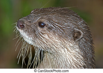 otter - headshot of a small clawed otter looking to the left